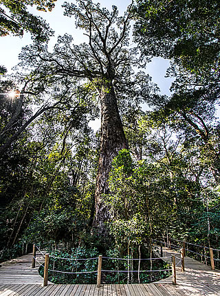 Storms River - Big Yellowwood Tree