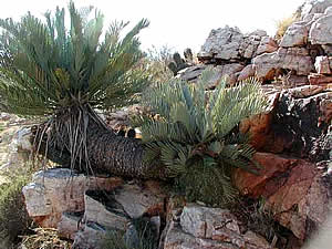 An unusual double cycad