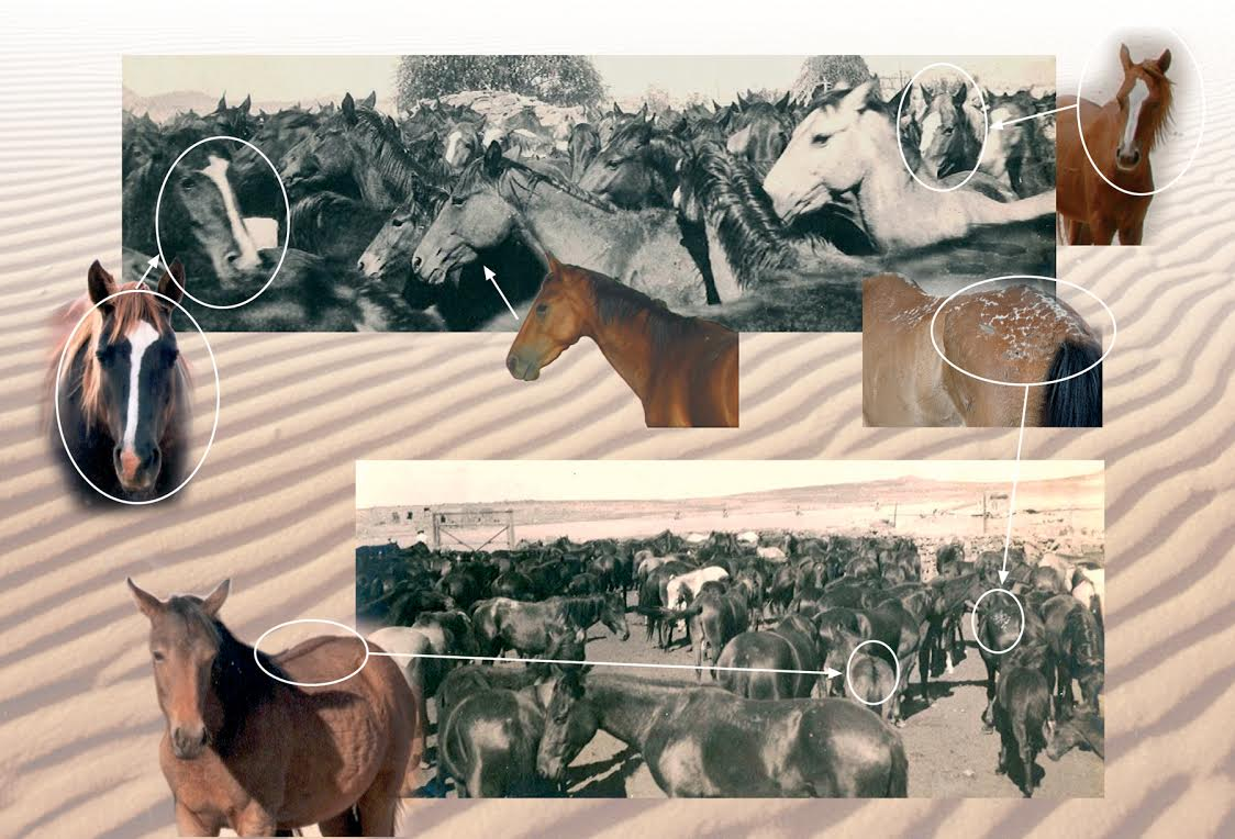 Similarities between historic photos of the Kreplin Stud and Wild horses