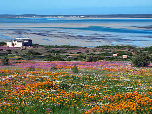 During the spring the veld in Langebaan and the neighbouring West Coast National Park comes alive in a kaleidescopic display of wild flowers, an attraction all by itself.  Find Langebaan accommodation on our Langebaan accommodation page.