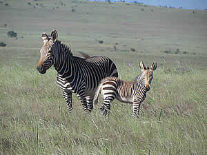 Zebra in Mountain Zebra National Park