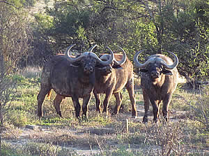 Buffalo in Mountain Zebra National Park
