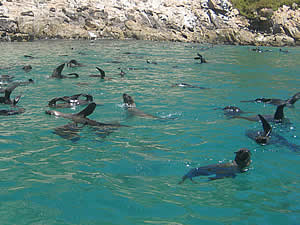 Plettenberg Bay's Robberg (Seal Island) is so named for the thriving seal colony which makes its home in the   surrounding waters.  It is not quite an island, being connected to the mainland by a narrow neck, and makes an   interesting walk.  Find Plettenberg Bay accommodation on our Plettenberg Bay accommodation page.