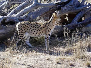 Serval near Cradock