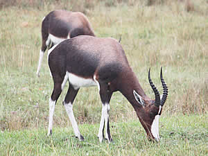 One of the prime attractions near Swellendam is the Bontebok National Park centred around the lovely Bontebok, a   close relative of the Blesbok but with distinctive dark colouration.  Find Swellendam accommodation on our Swellendam accommodation page.