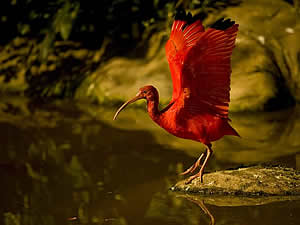 Two prime attractions in the Tsitsikamma are Bird of Eden and Monkeyland.  Here a scarlet Ibis shows off his gorgeous colouration.  Find Tsitsikamma accommodation on our Tsitsikamma accommodation page.