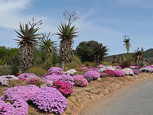 The Karoo Desert Botanical Gardens at Worcester are 154 hectares of mainly natural desert and semi-desert vegetation indigenous to South Africa with two walking trails.  The best displays of mesembreantheums are in Spring.  Find Worcester accommodation on our Worcester accommodation page.