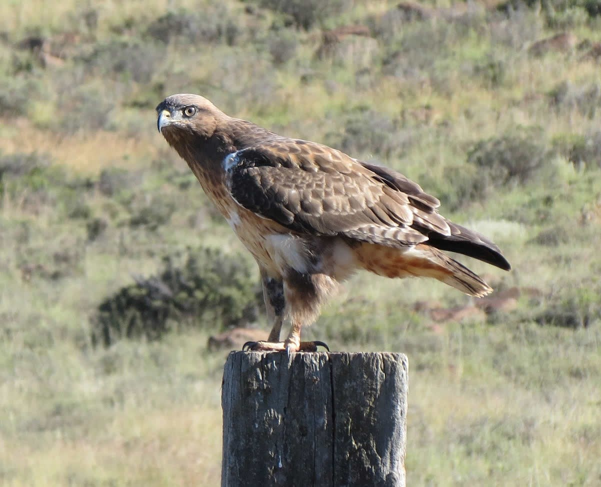 high_karoo_park_booted_eagle.jpg