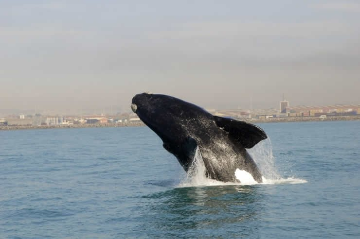 raggy_charters_southern_right_whale_broaching.jpg
