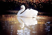 a_swan_on_the_pond_at_swanlake_accommodation.jpg