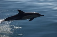 common_dolphin.jpg