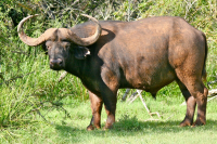 mount_camdeboo_buffalo_bull_preview.png