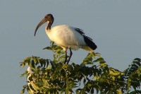 river_place_manor_activities_birding_sacred_ibis.jpg